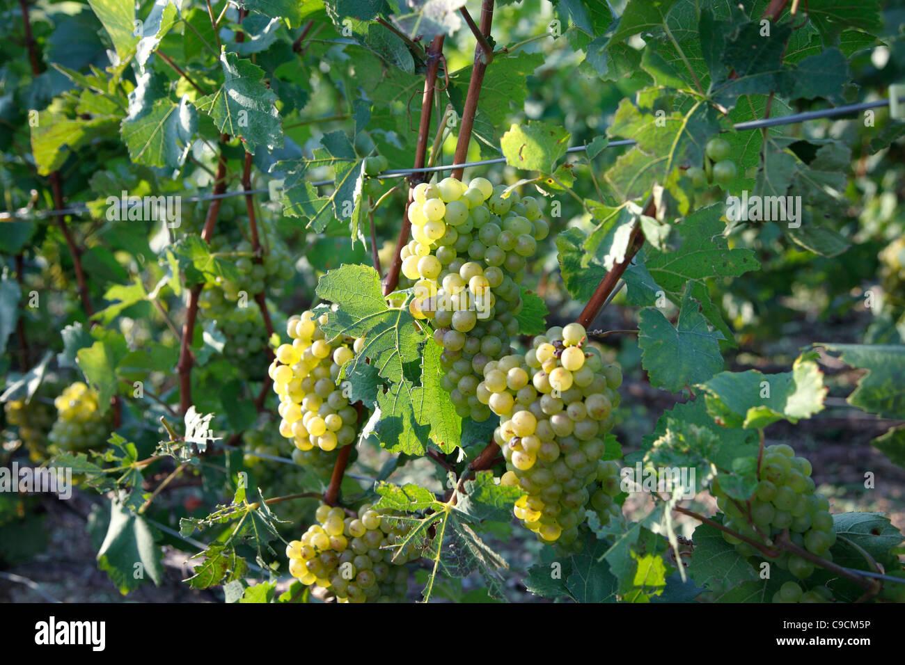 Grape vine, vineyards, Champagne, France Stock Photo