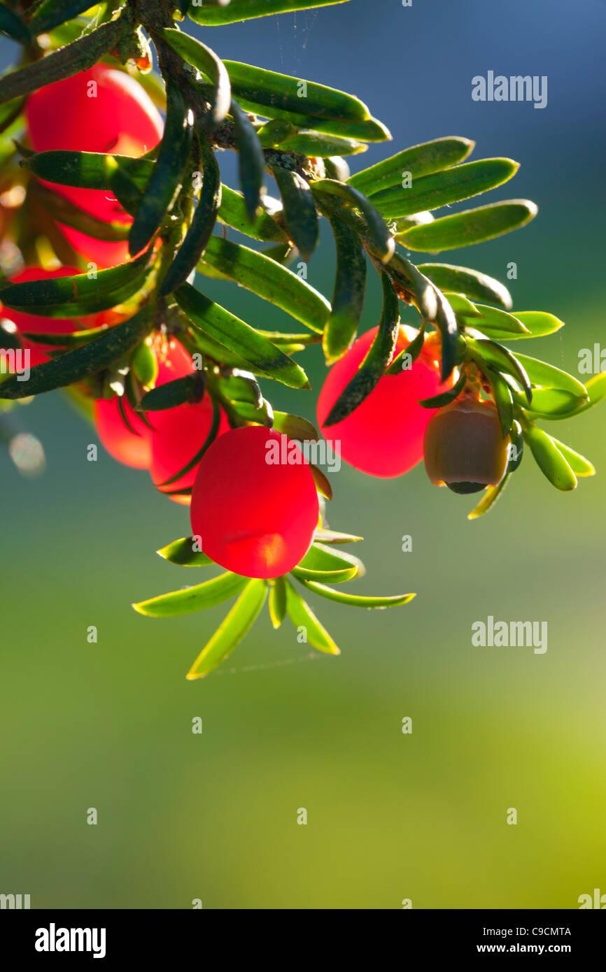 Yew; Taxus baccata; berries; UK - Stock Image