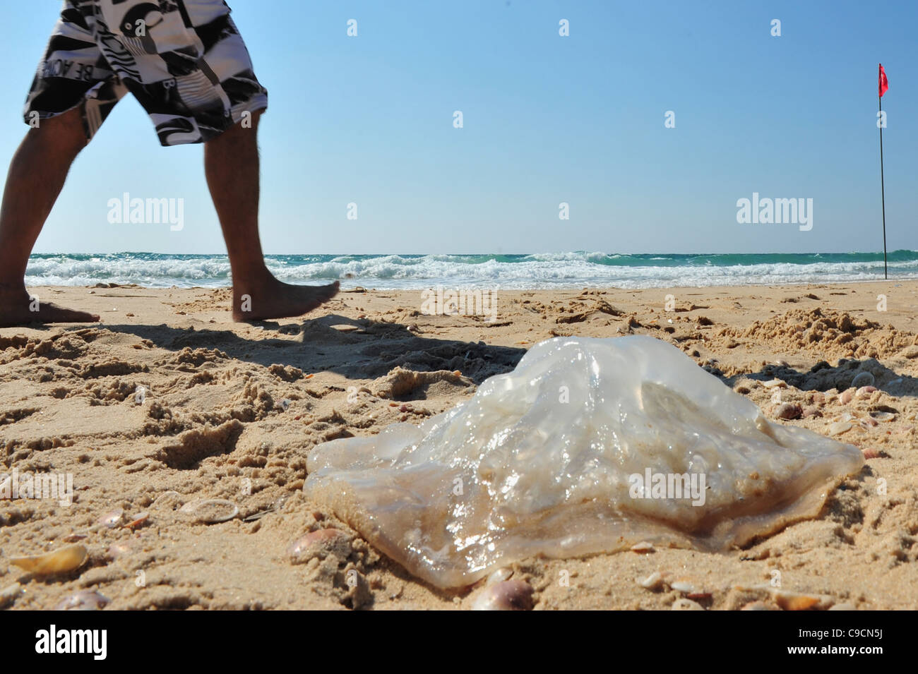A large dead jellyfish lies on the shore of a beach Stock Photo