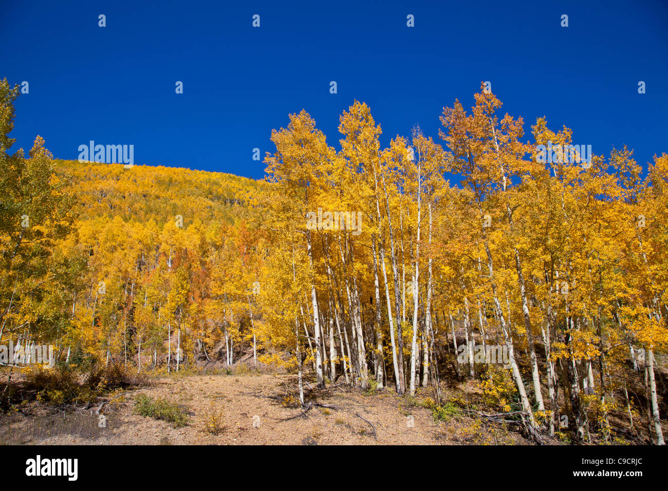 Autumn color along the Million Dollar Highway (US 550) portion of the San Juan Skyway Scenic Byway in Colorado. - Stock Image