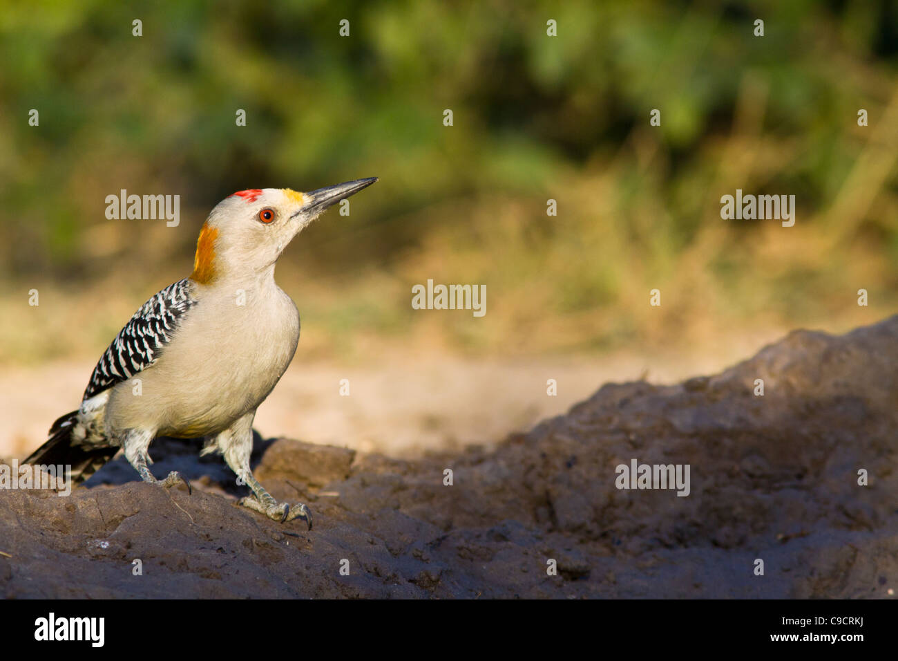 Golden-fronted Woodpecker, Melanerpes aurifrons, in South Texas. Stock Photo
