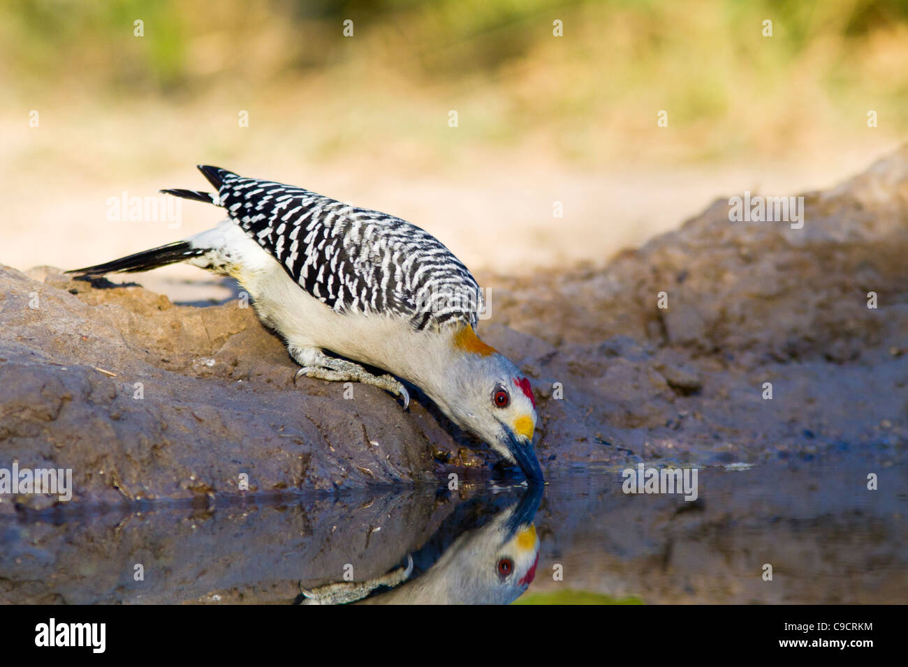 Golden-fronted Woodpecker, Melanerpes aurifrons, at a ranch in South Texas. Stock Photo