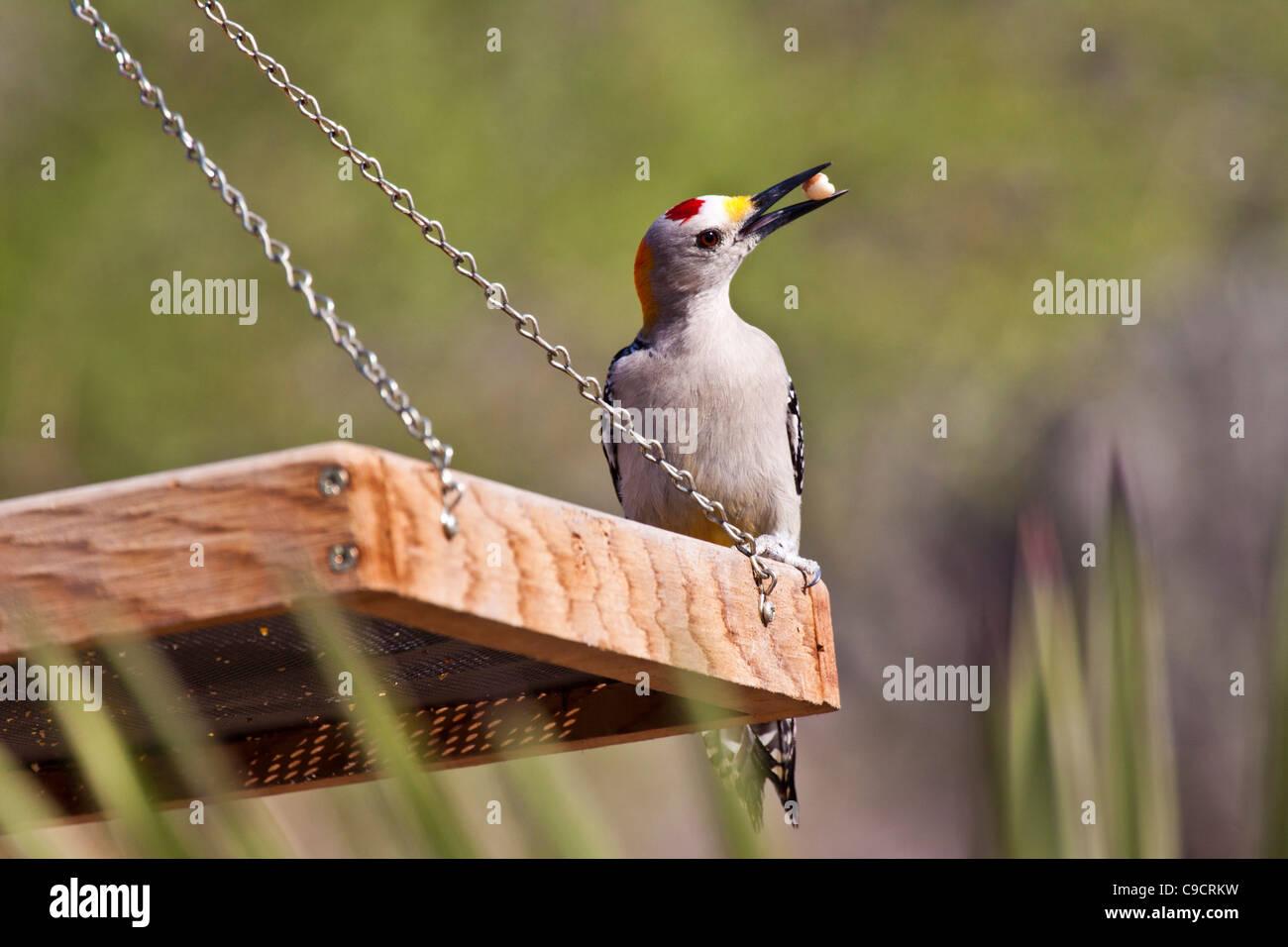 Golden-fronted Woodpecker, Melanerpes aurifrons, at the Javelina-Martin wildlife refuge Stock Photo