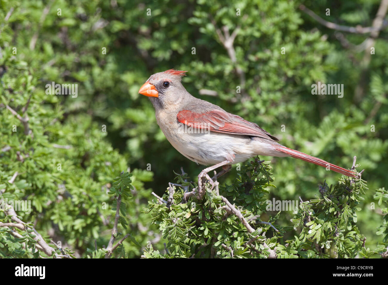 Female Northern Cardinal, Cardinalis cardinalis, looking for water and relief from summer heat, on a ranch in South Stock Photo