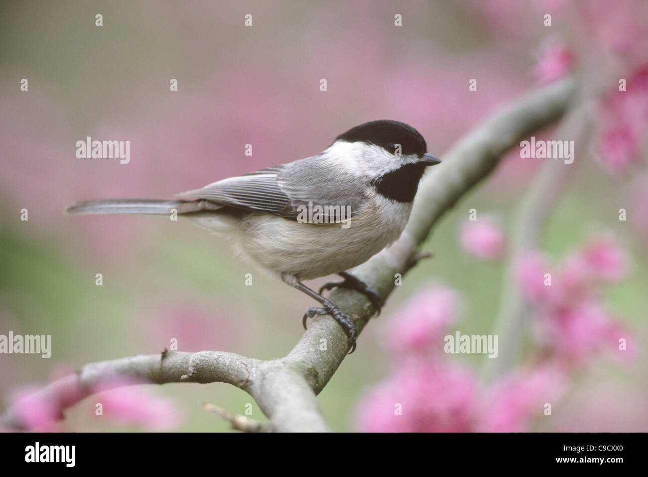 Carolina Chickadee perching in Redbud Blossoms - Stock Image