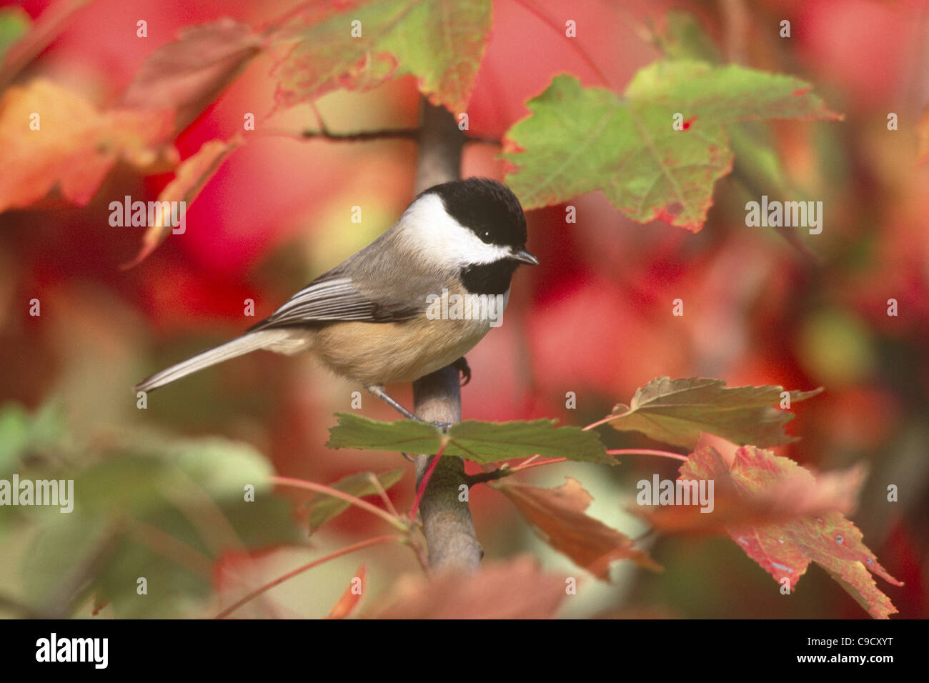 Carolina Chickadee perching in Fall Maple Tree - Stock Image