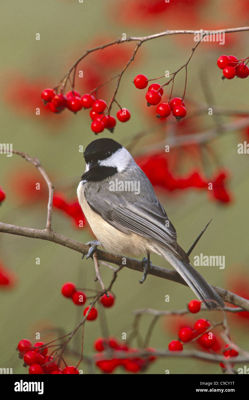 Carolina Chickadee in Hawthorn Tree - Stock Image