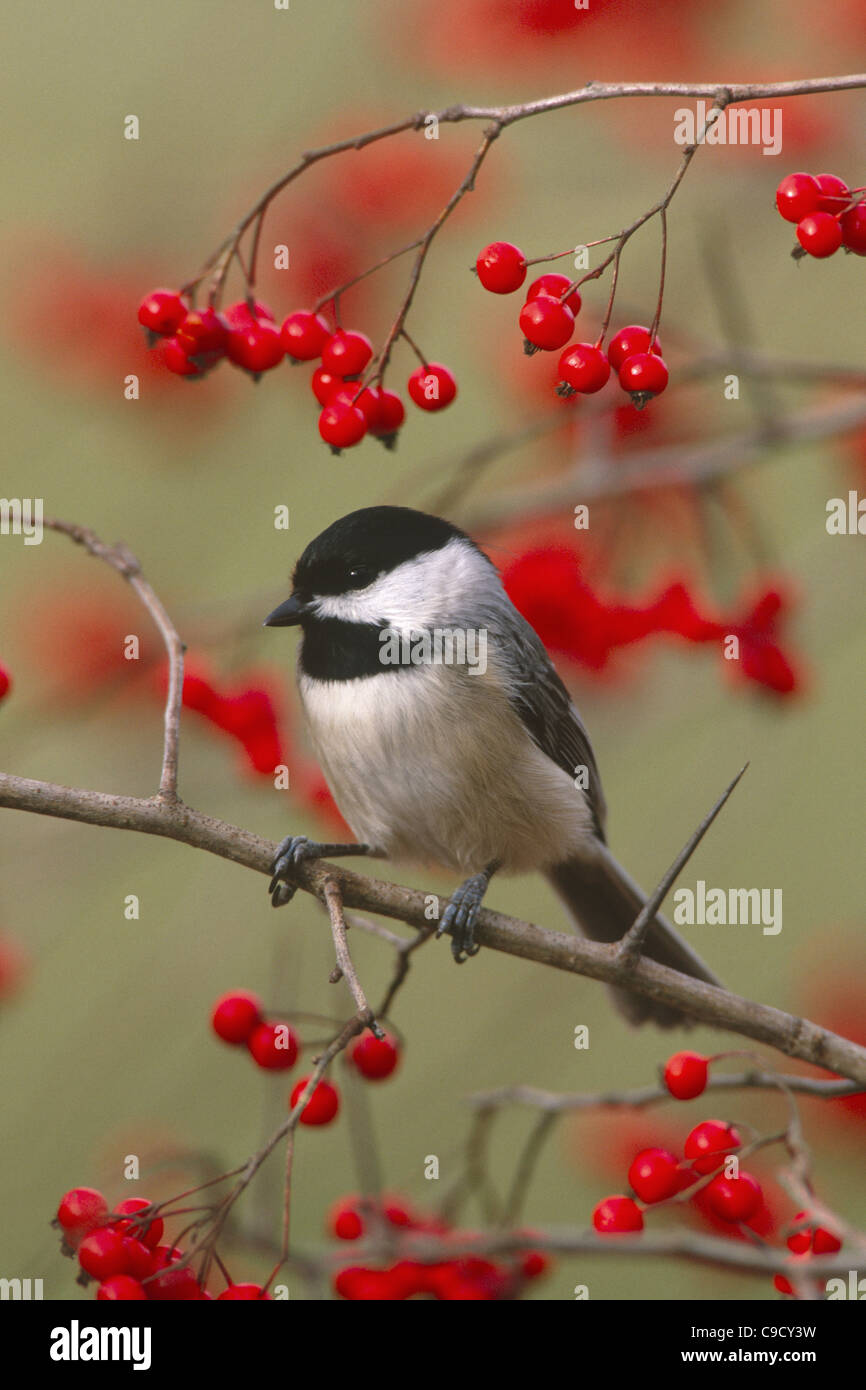 Carolina Chickadee perching in Hawthorn Berries - vertical - Stock Image