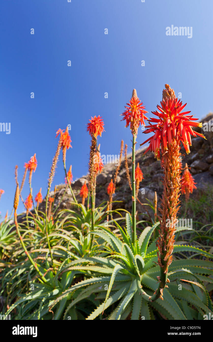 Blooming Aloe Plant Stock Photos & Blooming Aloe Plant Stock Images ...