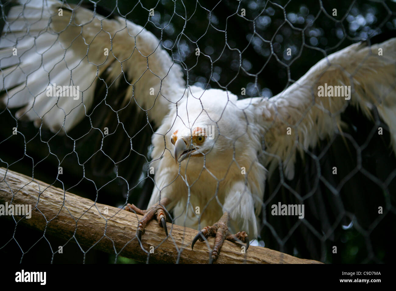 Gypohierax angolensis, Palm-nut Vulture / Vulturine Fish Eagle. A caged white vulture on a perch with outstretched - Stock Image