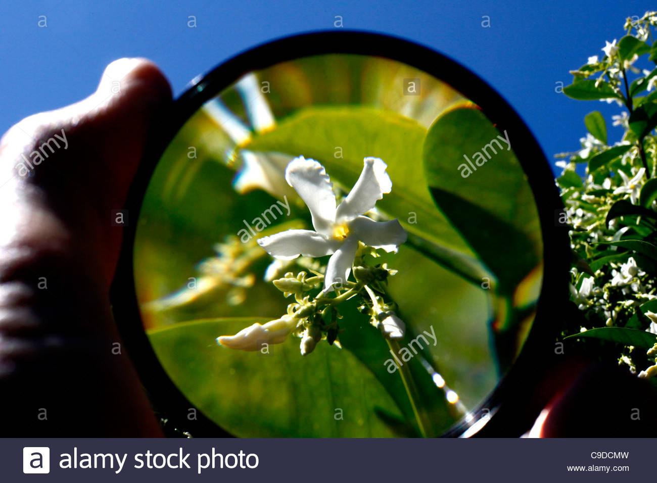 magnifying glass, jasmine - Stock Image