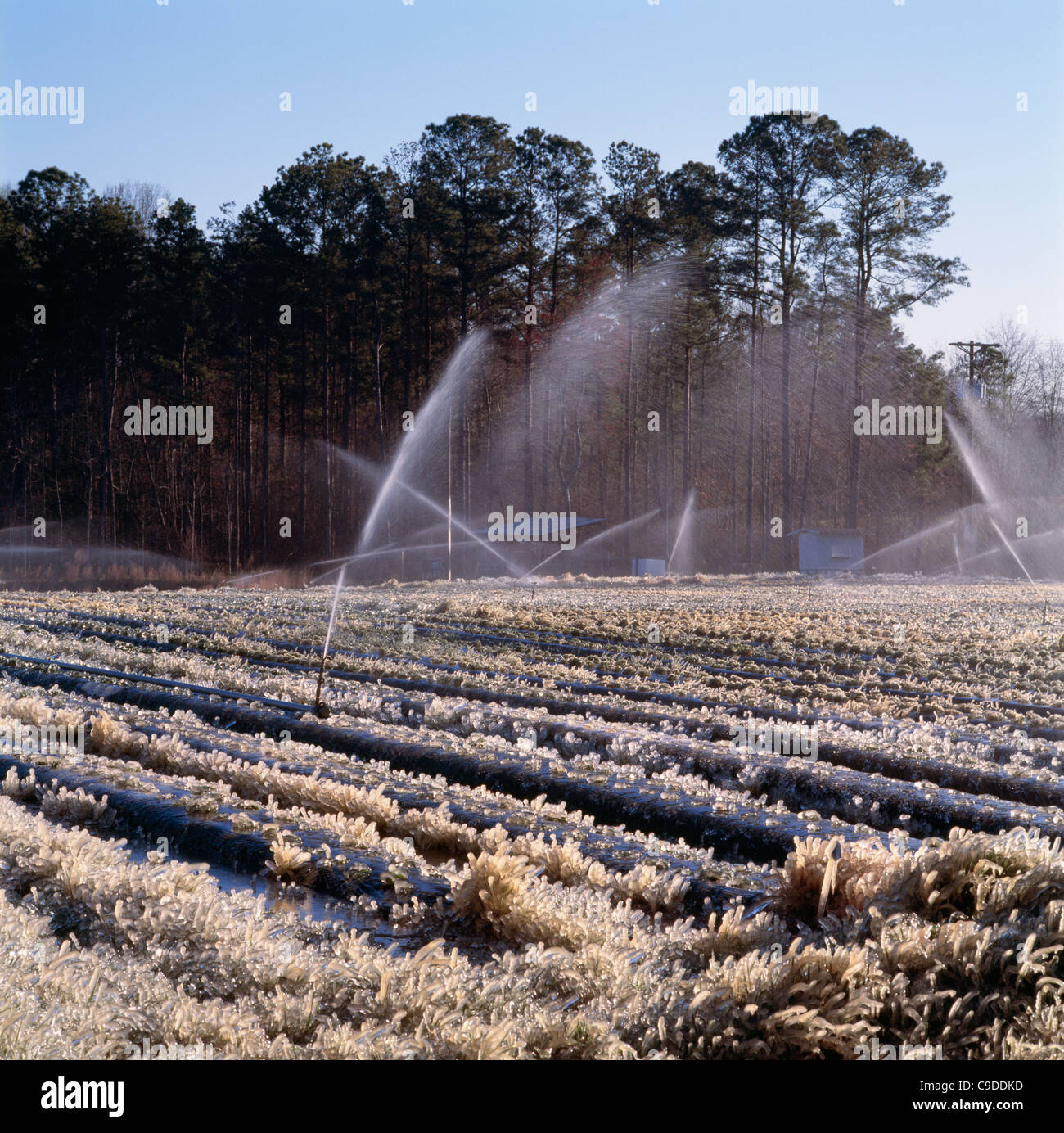 Strawberry field being irrigated to prevent frost damage to developing berries. Shows ice. - Stock Image