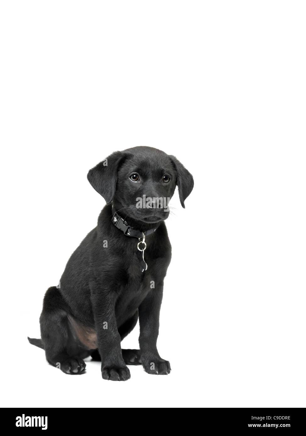 black labrador puppy - Stock Image