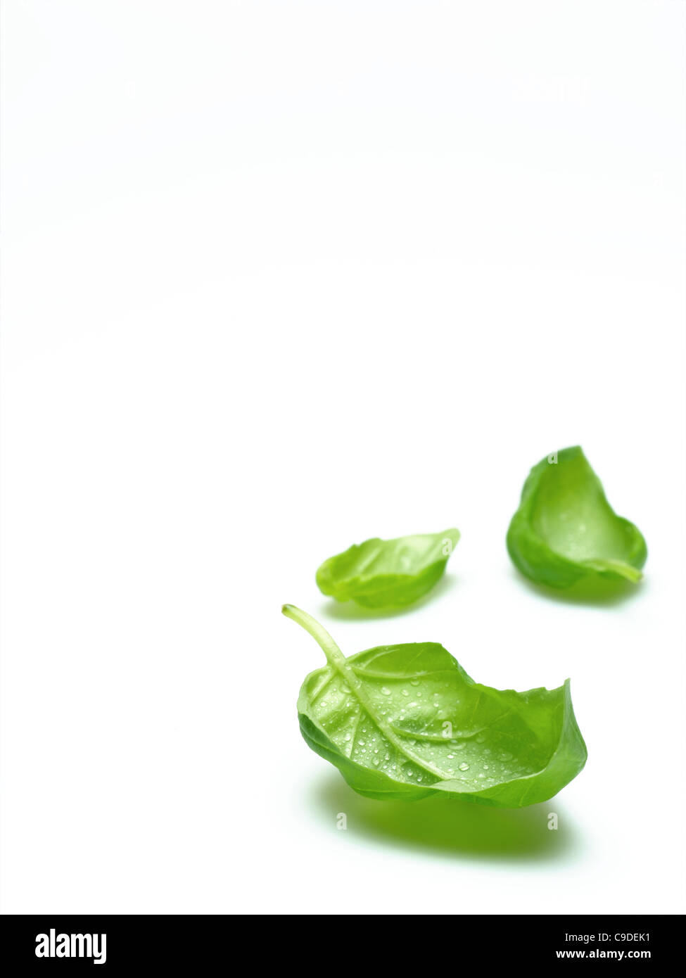 basil leaves - Stock Image
