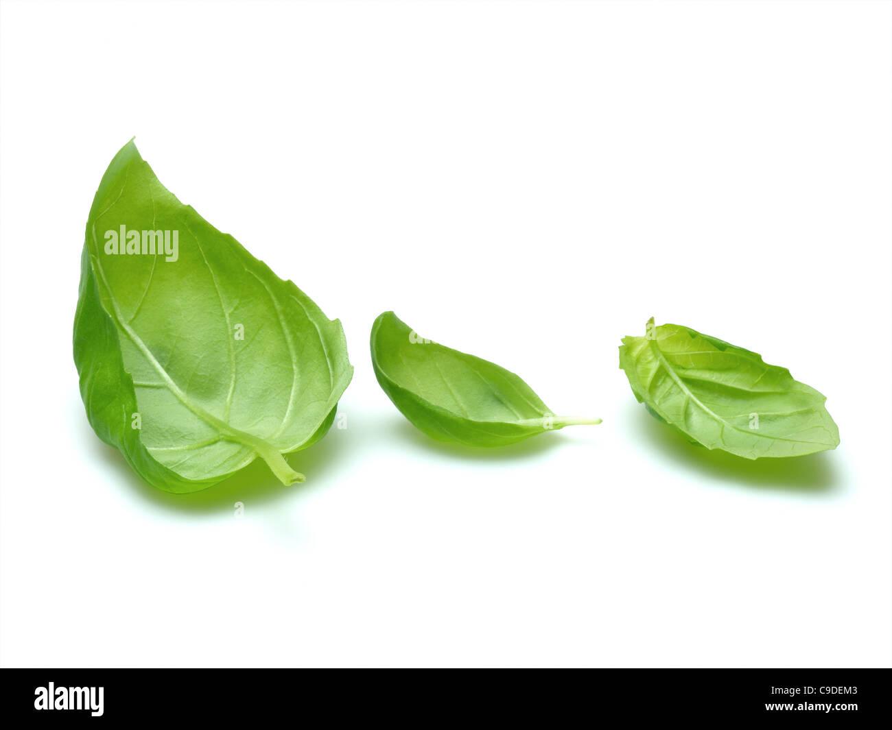 basil leaves - Stock Image