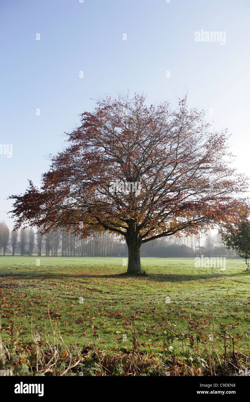 Beech tree standing alone . - Stock Image