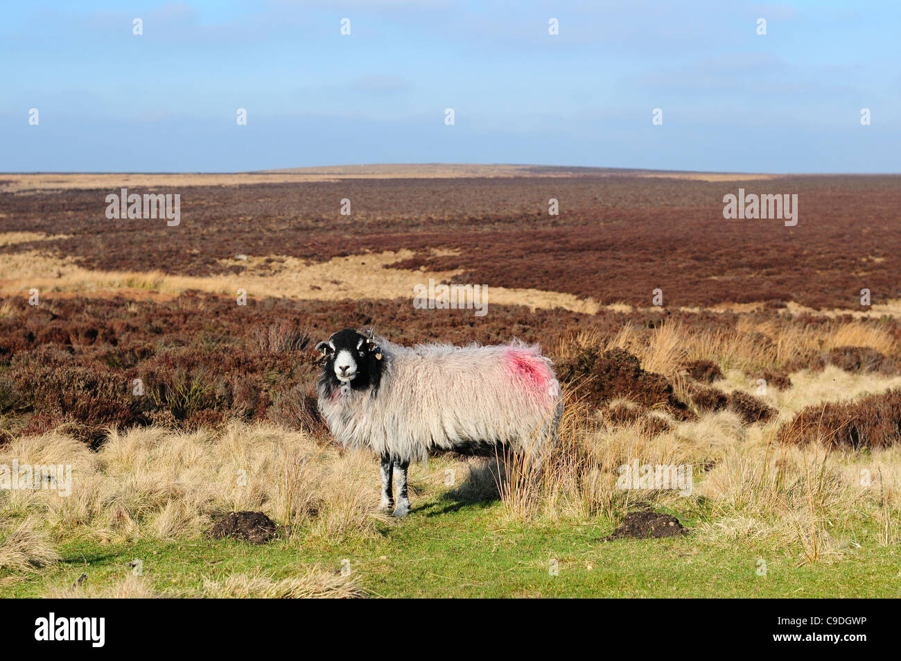 A horned ram / sheep at Stanage Edge, The Peak Districk, England - Stock Image