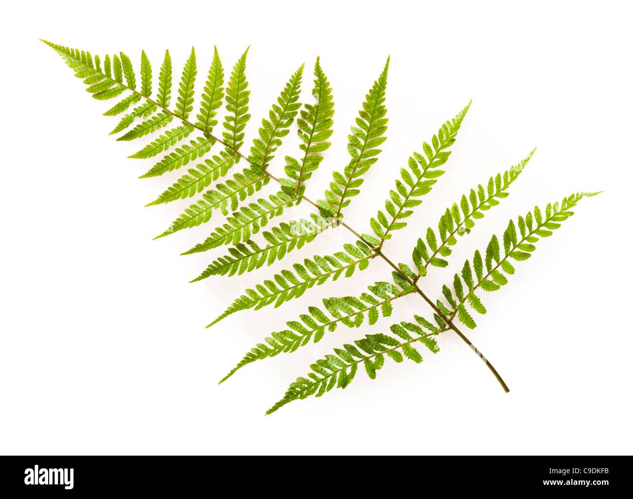 Fern leaf, Japanese Shield Fern, Dryopteris erythrosora. Stock Photo
