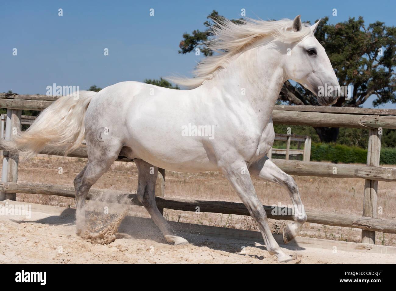 purebred Lusitano horse stallion Portugal Lezirias Stock Photo