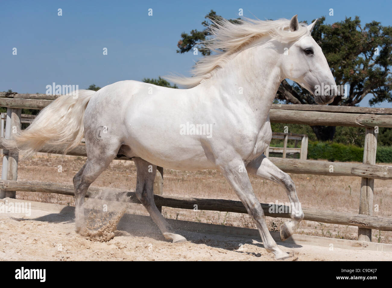 purebred Lusitano horse stallion Portugal Lezirias - Stock Image