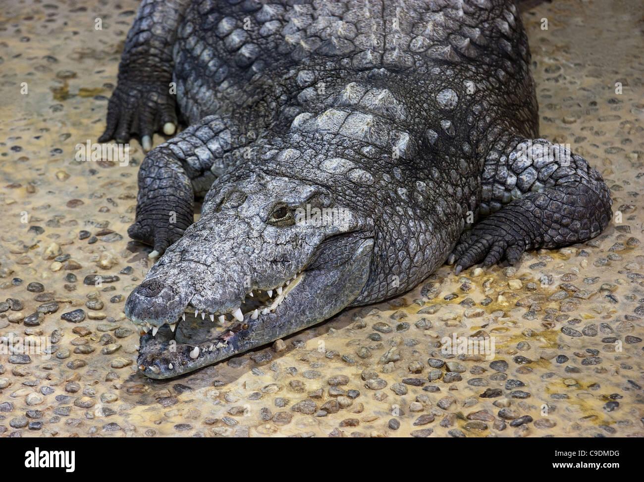 A big, grey crocodile is resting - Stock Image