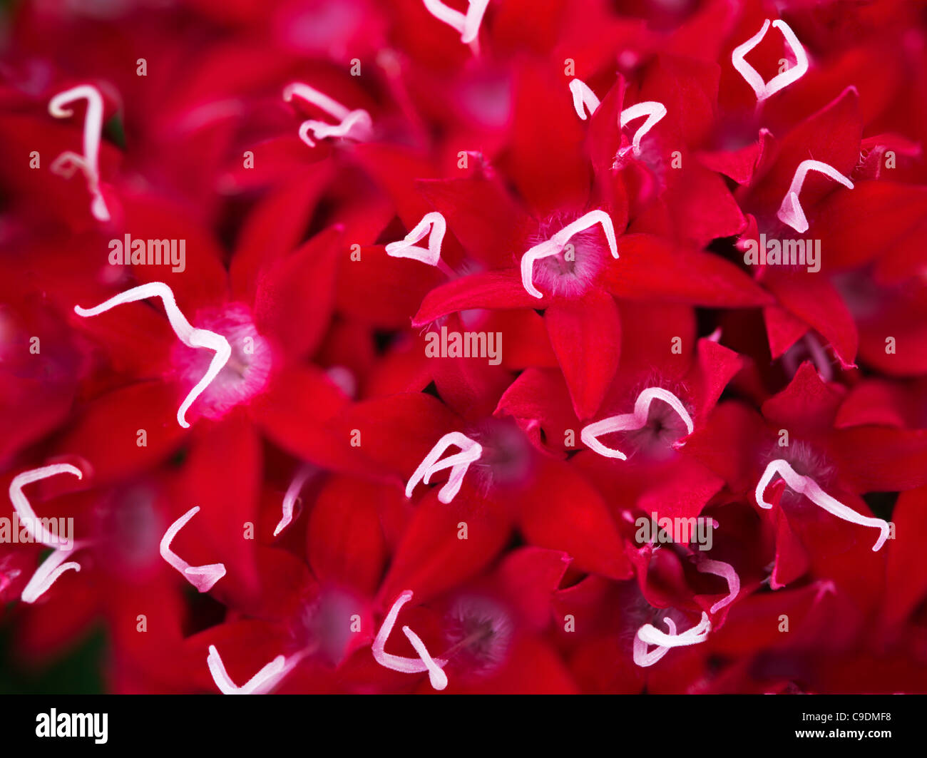 Close up of Grafiti Red Lace. - Stock Image
