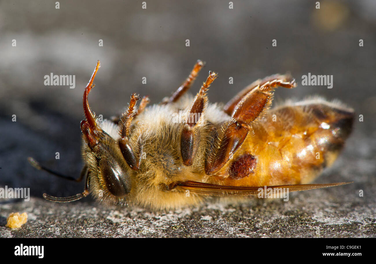 Dec. 23, 2011 - Roseburg, Oregon, U.S - A dead honeybee is seen outside its hive in a orchard on a farm near Roseburg. - Stock Image
