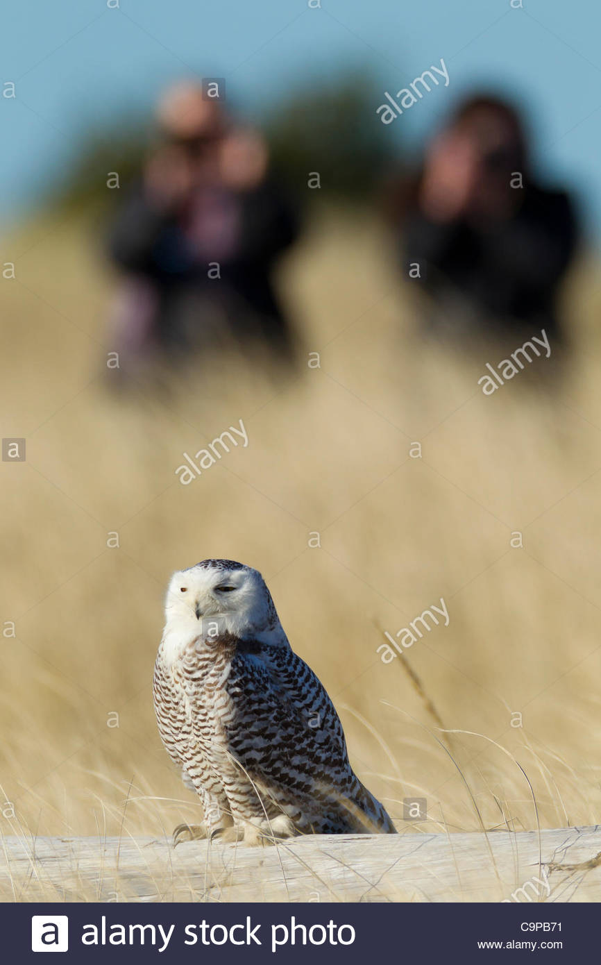 Birdwatchers observe and photograph a snowy owl (Nyctea scandiaca) at Damon Point in Ocean Shores, Washington. Snowy - Stock Image