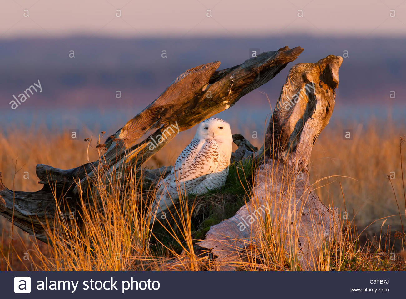A snowy owl (Nyctea scandiaca) rests in an old stump at Damon Point in Ocean Shores, Washington. Snowy owls, which - Stock Image