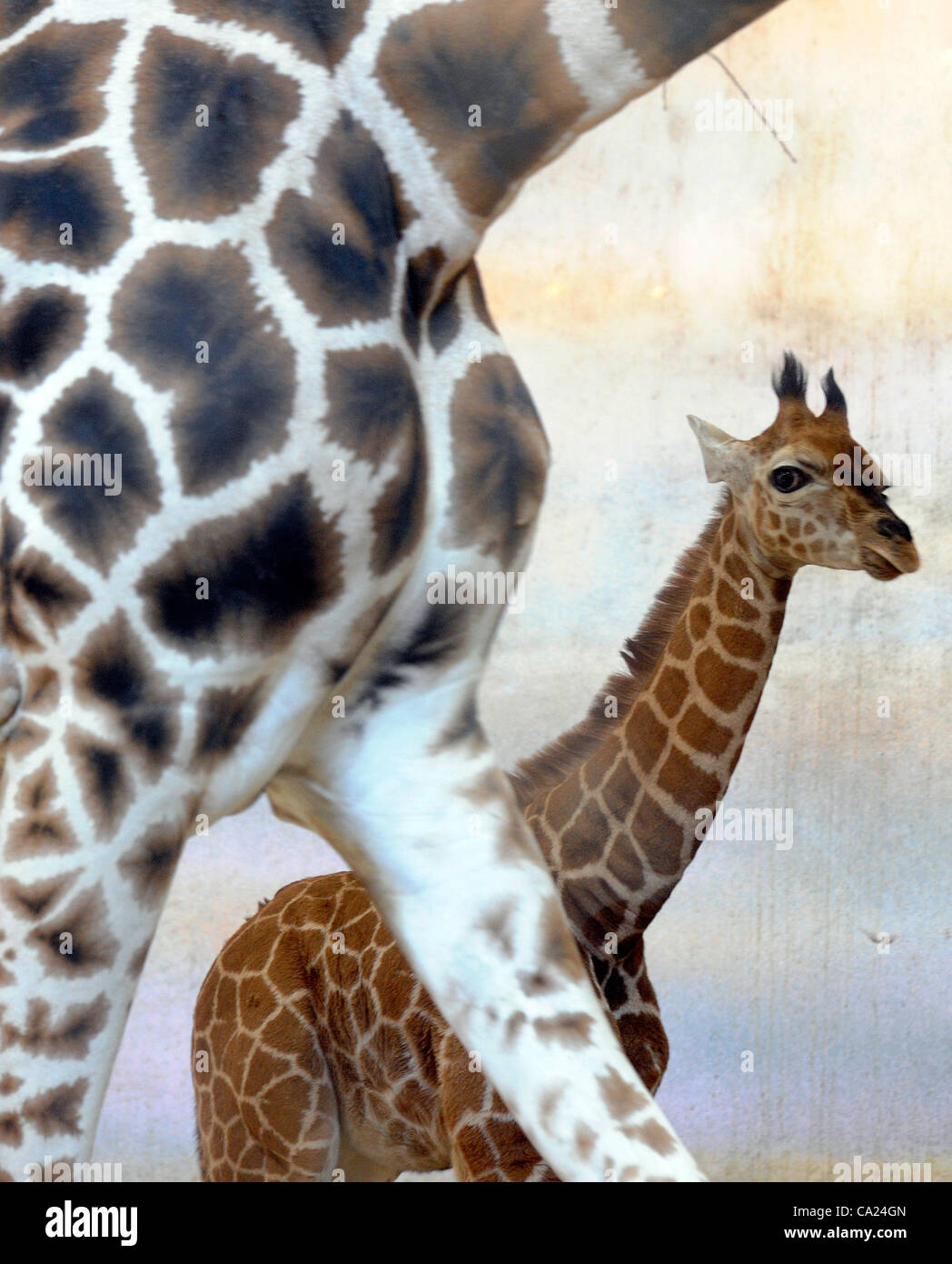 Giraffe Nora, left, and its calf Soya named after a Japanese schoolgirl in Prague Zoo on Friday, March 23, 2012. - Stock Image