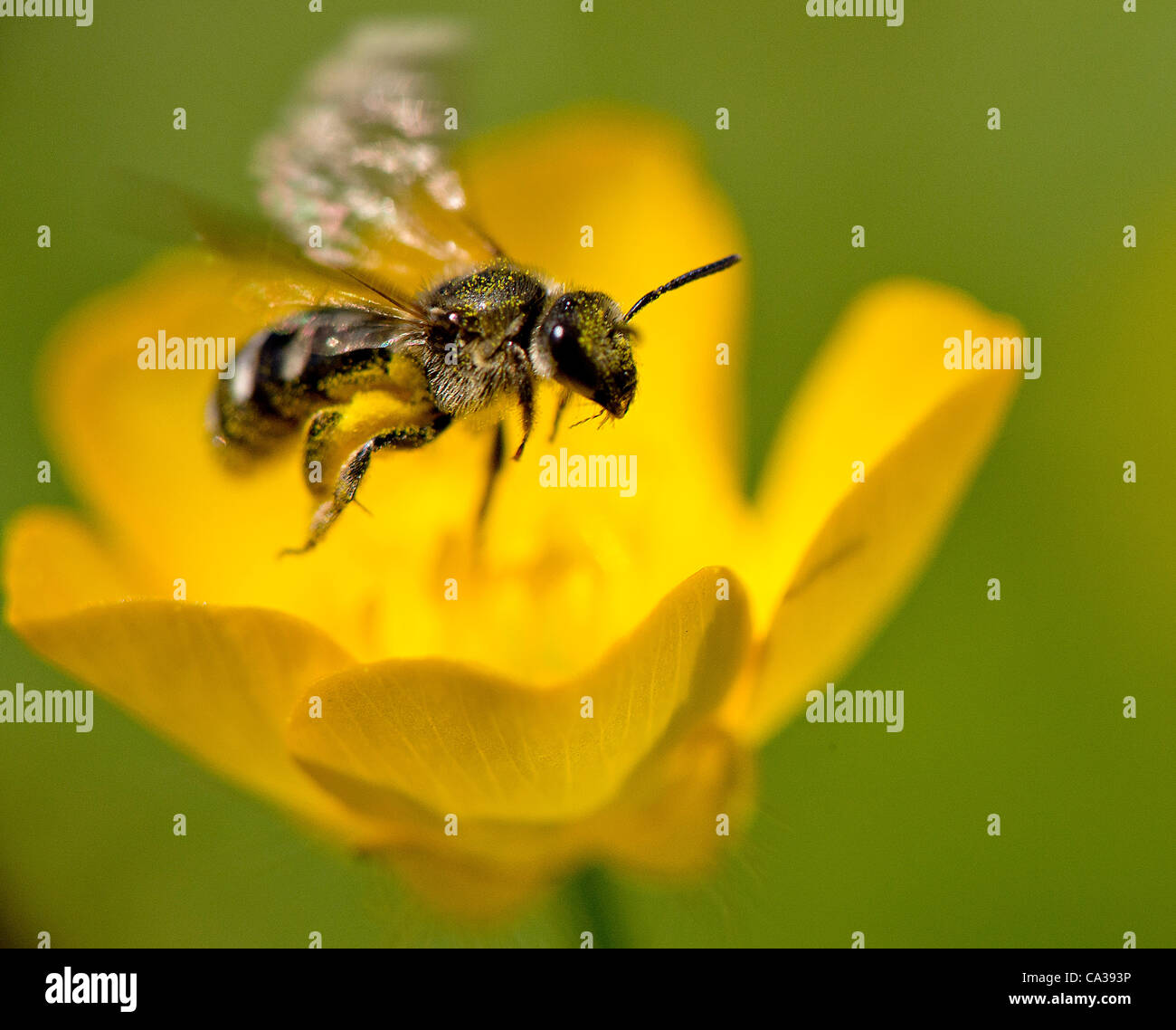May 30, 2012 - Roseburg, Oregon, U.S - A small pollen covered sweat bee alights on a yellow wildflower growing in - Stock Image