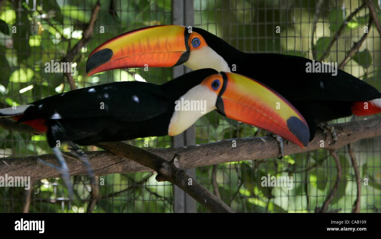 (Published 4/27/2005, B-1:2,6,7, NI-1, NC-1)  A pair of coloroful Toco toucans sit on a branch in their enclosure. - Stock Image
