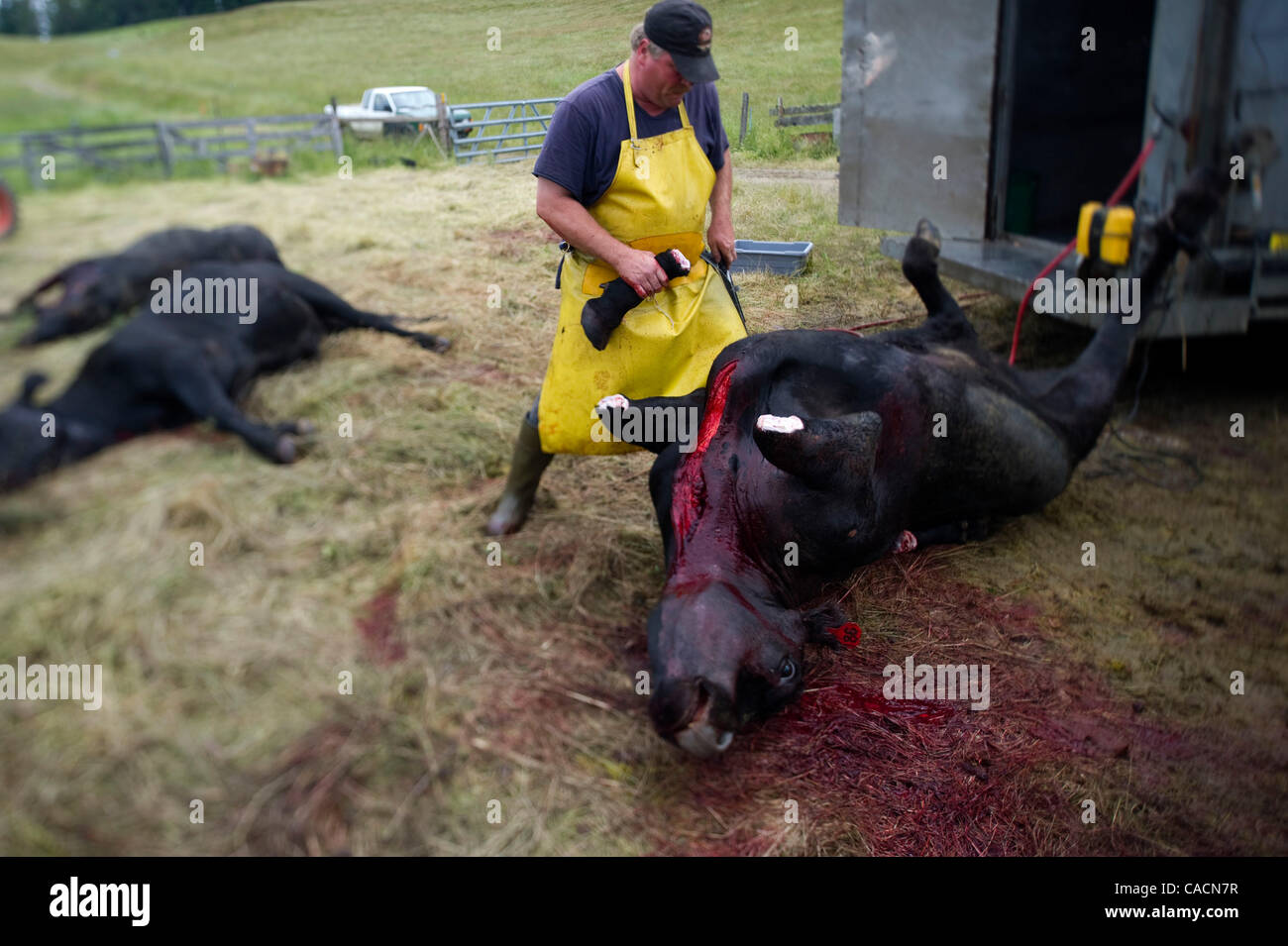 Jun 24, 2010 - Elkton, Oregon, U.S. - Grass fed beef cattle are slaughtered on the Fisher Ranch near Elkton.  These - Stock Image