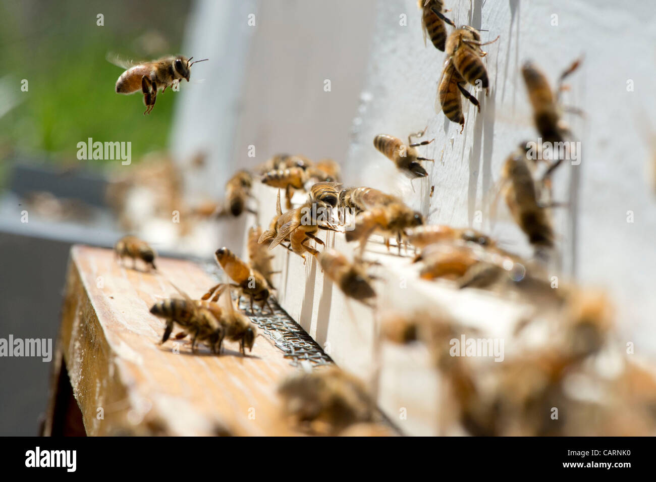 April 14, 2012 - Roseburg, Oregon, U.S - Honey bees gather at the entrance to a hive in a small apiary on a farm - Stock Image
