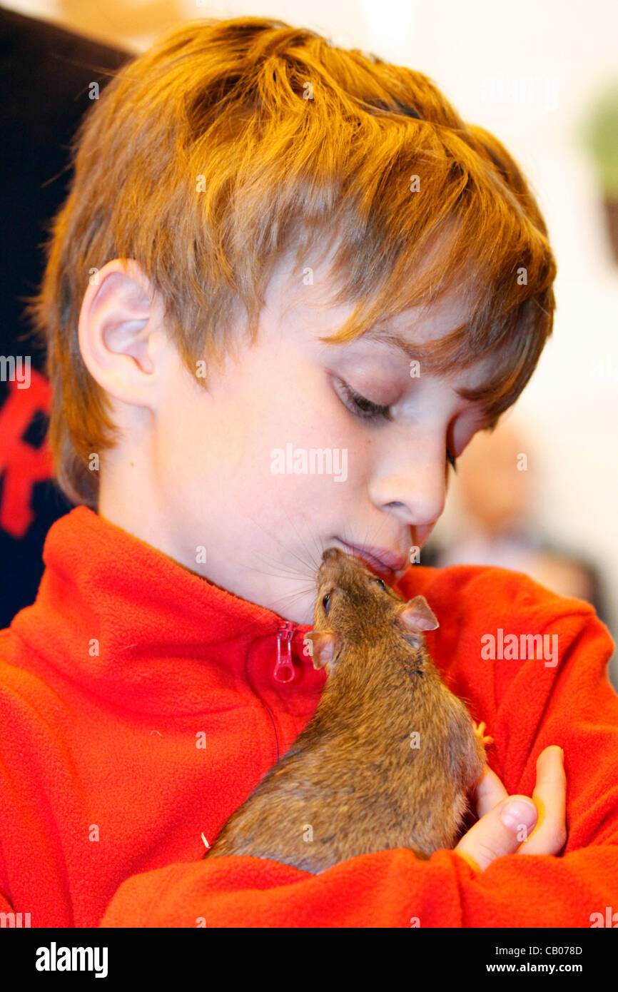 London, UK. Sunday 13th May 2012. Calamity the Agouti Rat with child visitor Daniel Wright at the London Pet Show - Stock Image