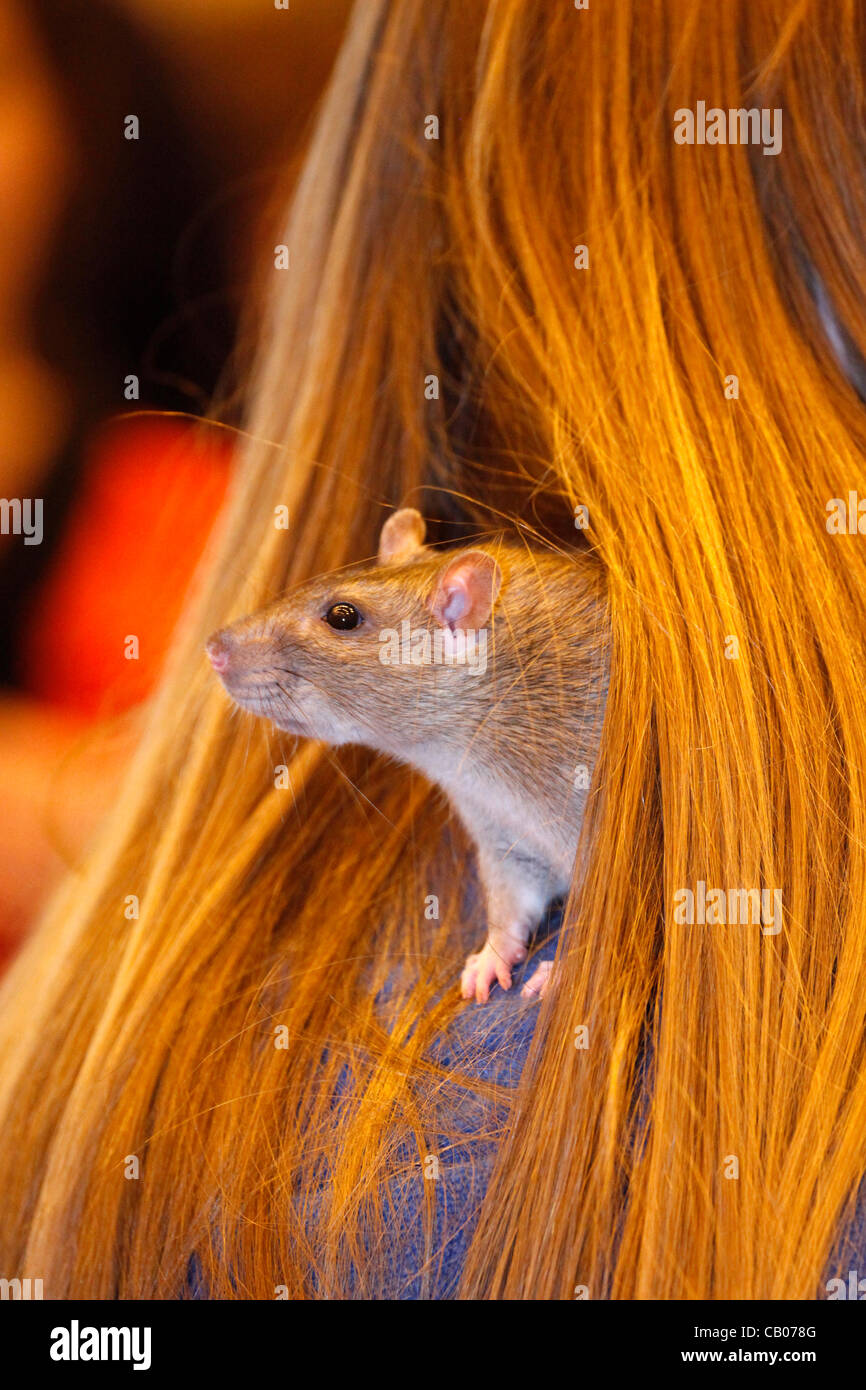 London, UK. Sunday 13th May 2012. Calamity the Agouti Rat playing nesting in hair at the London Pet Show 2012 - Stock Image
