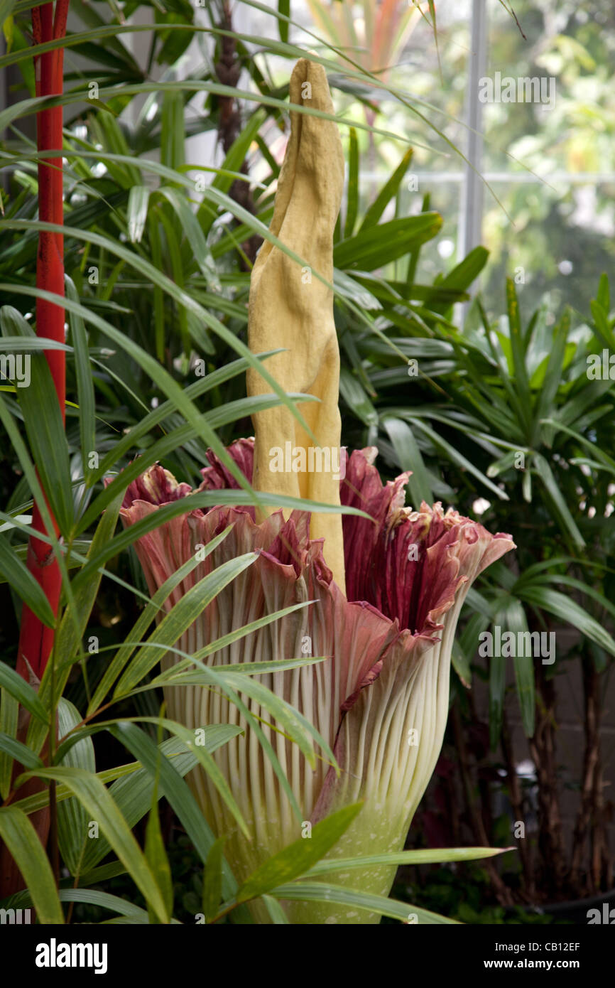 The Amorphophallus titanum (corpse flower) blooming in Honolulu, Hawaii at Foster Botanical garden. Amorphophallus - Stock Image