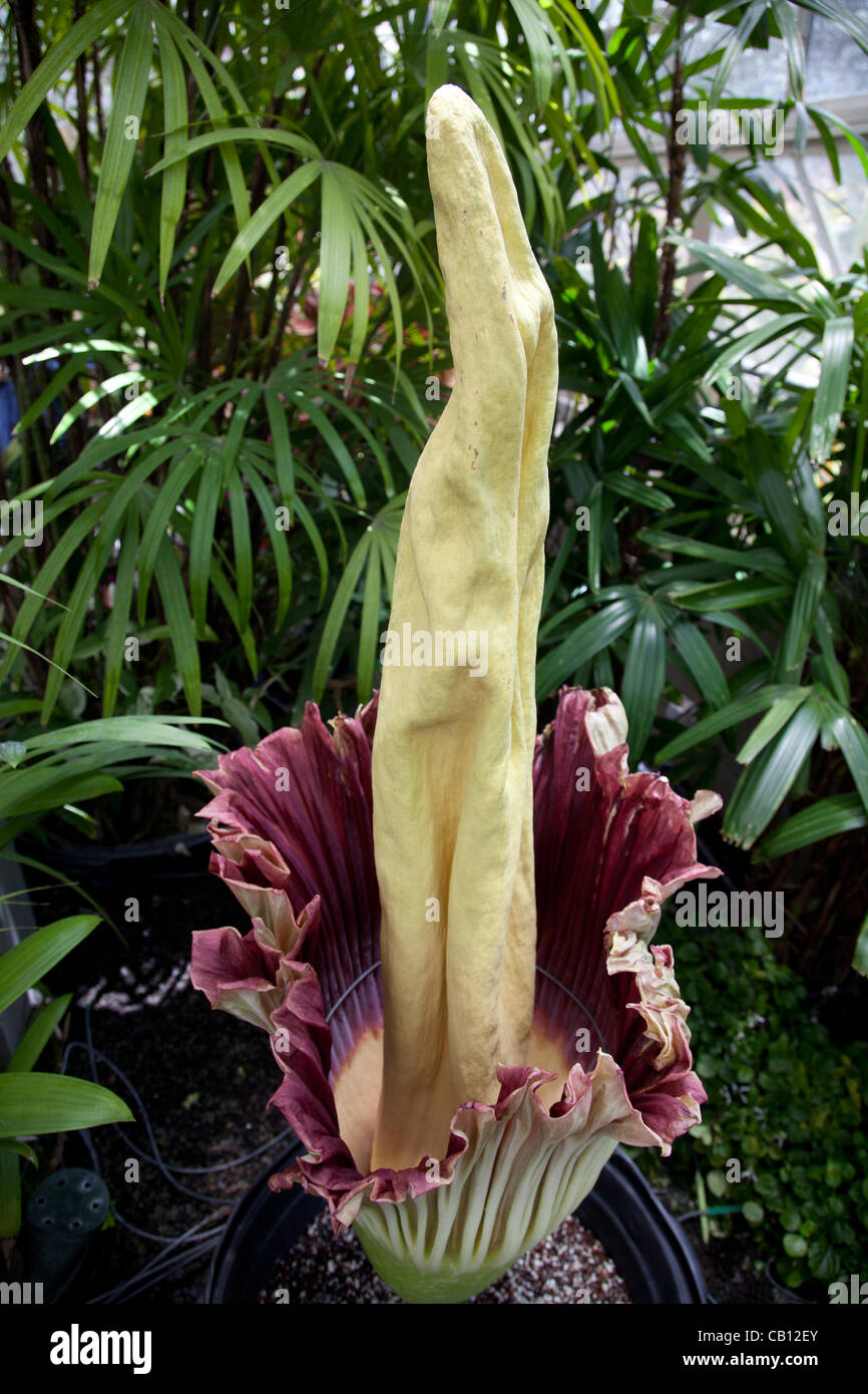 Amorphophallus titanum (corpse flower) blooms in Honolulu, Hawaii at Foster Botanical garden. The flower blooms - Stock Image