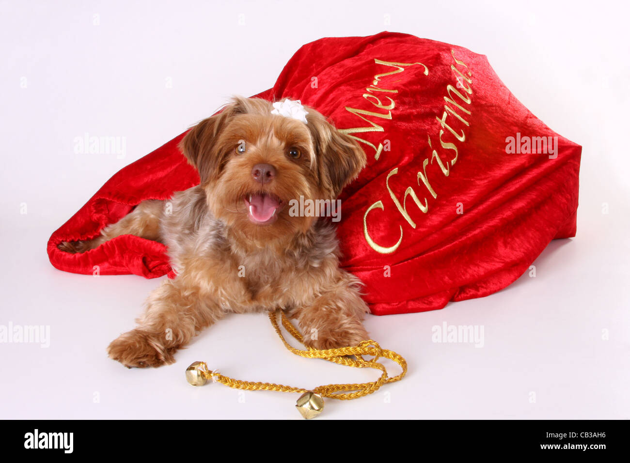 Yorkshire Terrier Poodle Puppy For A Christmas Present Stock Photo