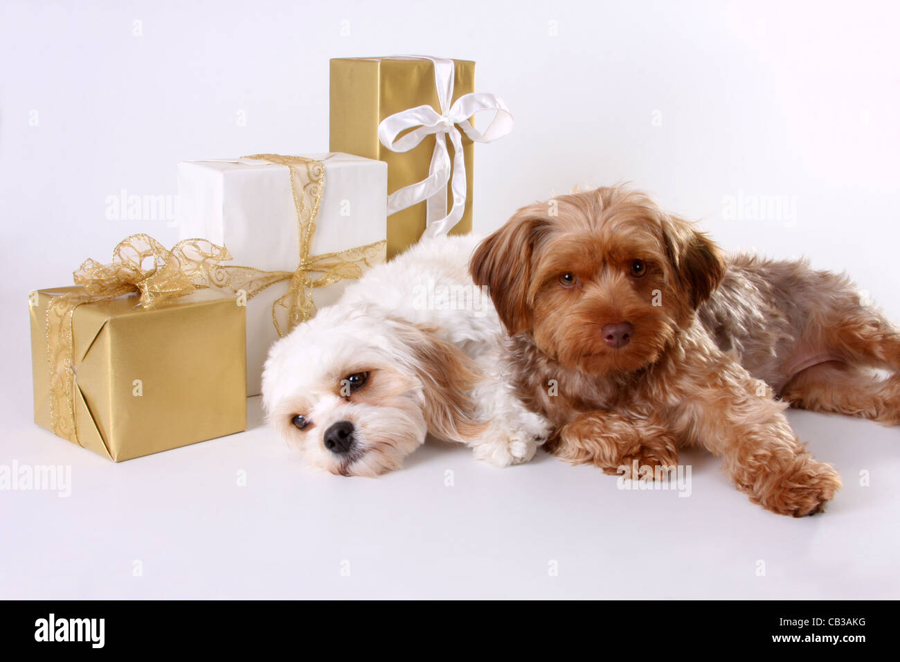 Cavalier King Charles Spaniel And Yorkiepoo Dogs With Christmas