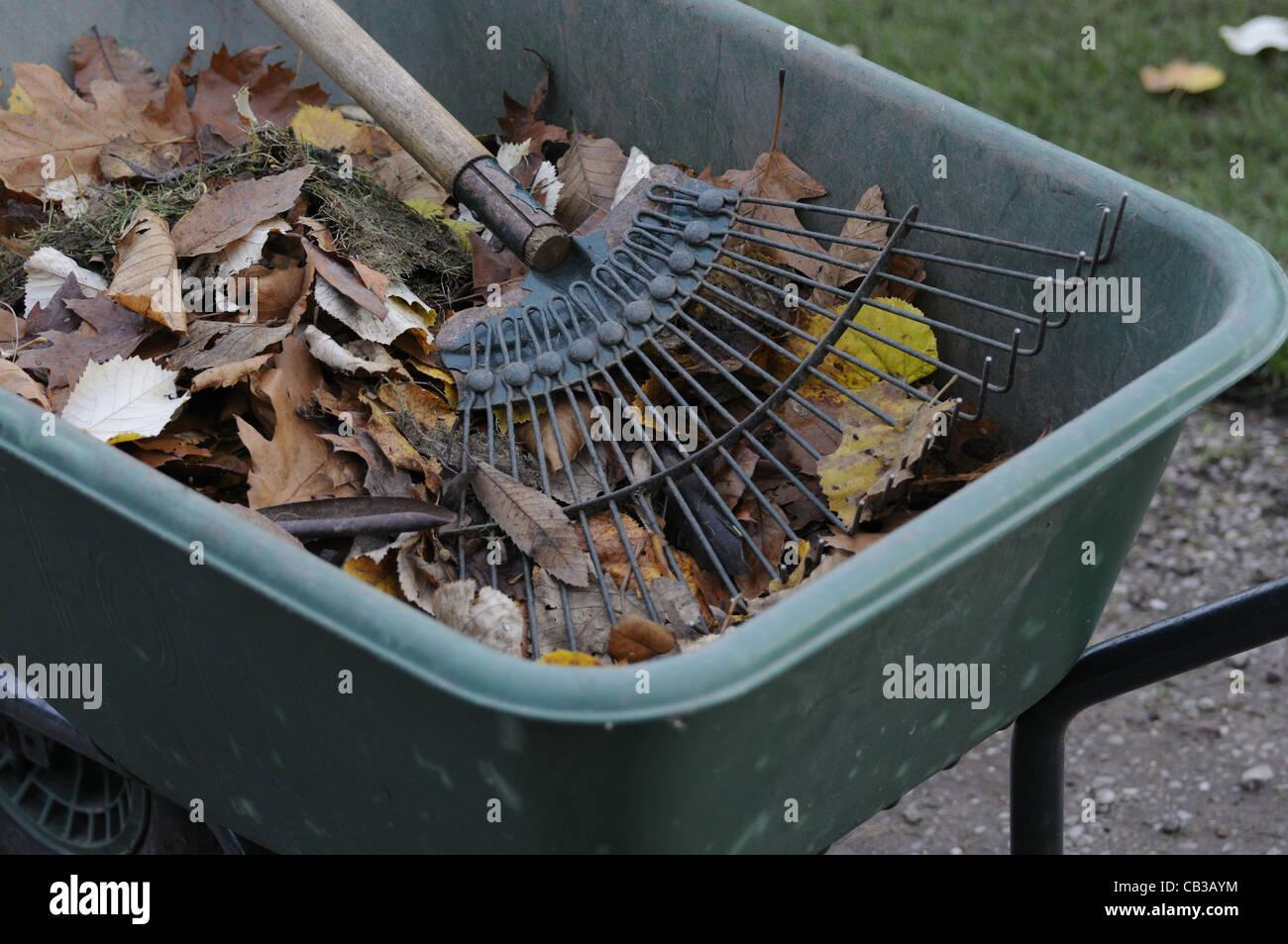 Wheelbarrow full of raked leaves with rake - Stock Image