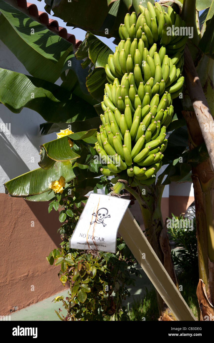 Forbidden to pick bananas, Tenerife, Canary Islands, Spain. - Stock Image