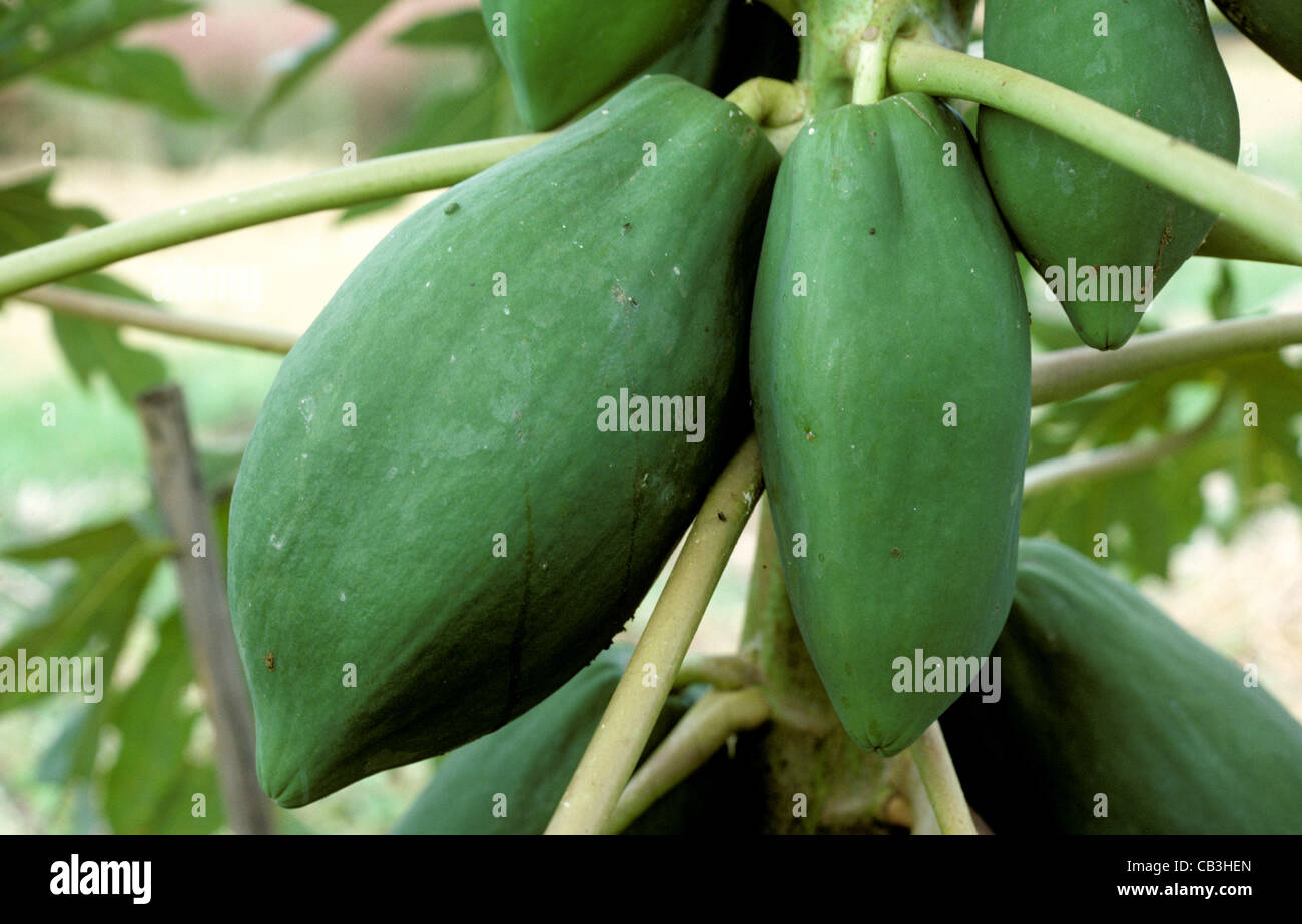 Mature fruit on a papaya tree in Thailand - Stock Image