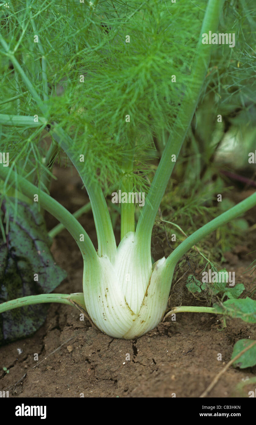 Fennel (Foeniculum vulgare) swollen stem base leaves maturing - Stock Image