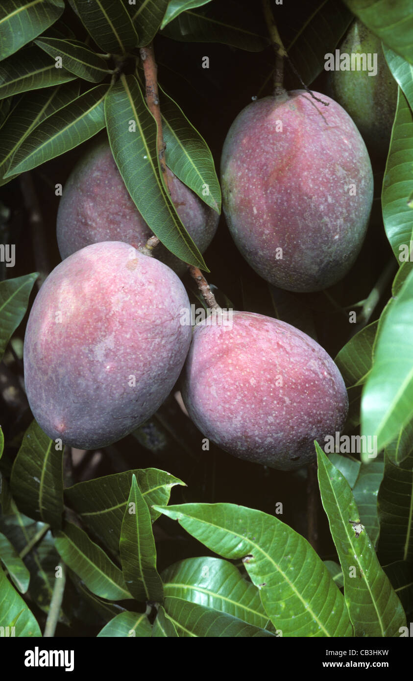 Mango Fruit On The Tree Variety Sensation Transvaal South