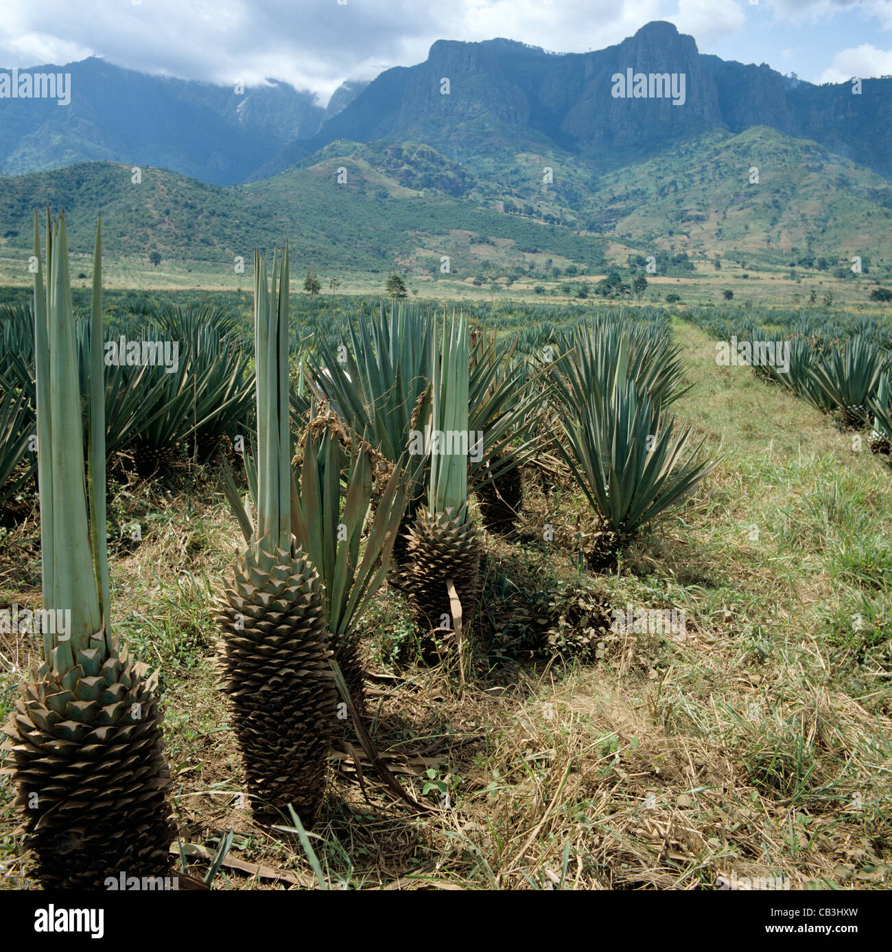 A sisal plantatioin where some leaves have already been harvested, Tanzania, East Africa - Stock Image