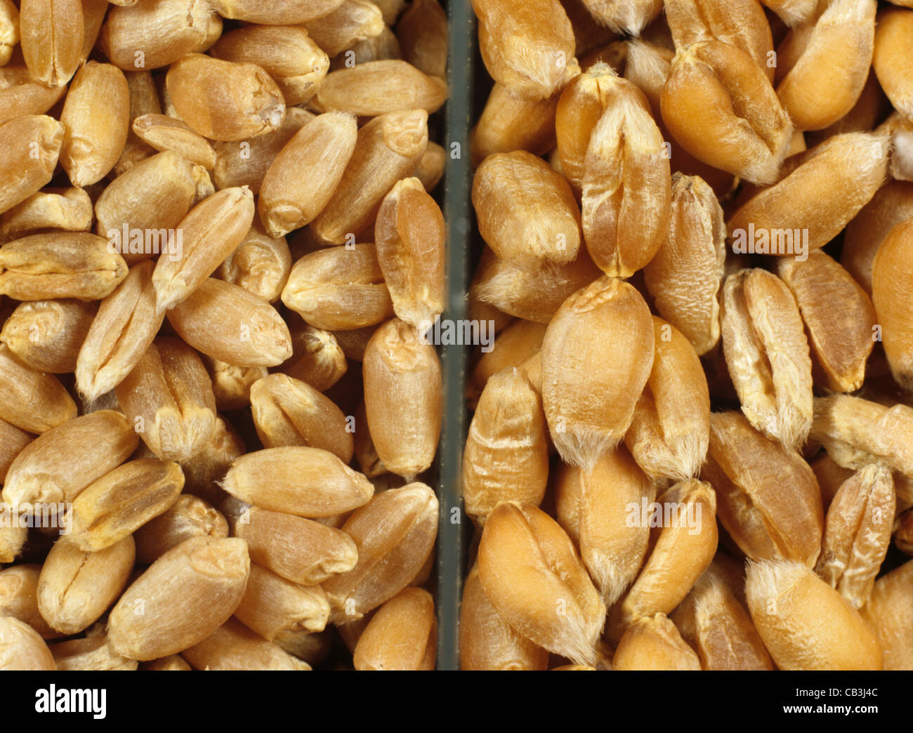 English winter milling wheat (left) compared to Canadian Western red spring milling wheat (right) - Stock Image