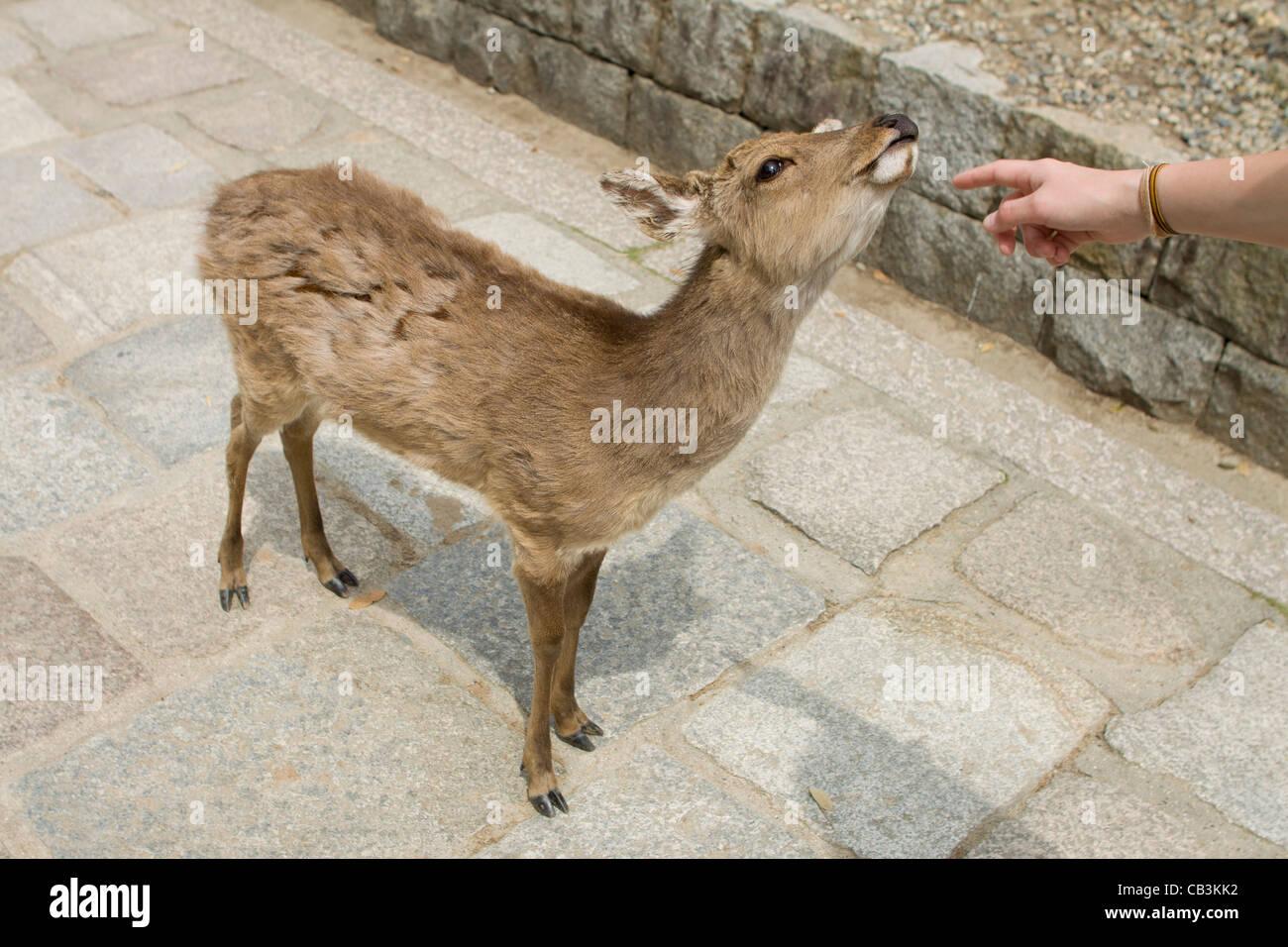 Feeding the holy deer in Nara, Japan. - Stock Image