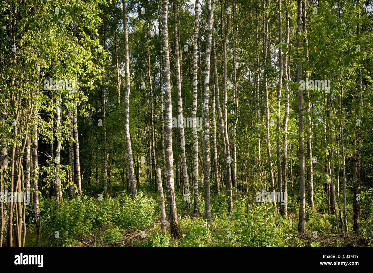 silver birch trees tree forest forests wood woods sweden swedish - Stock Image