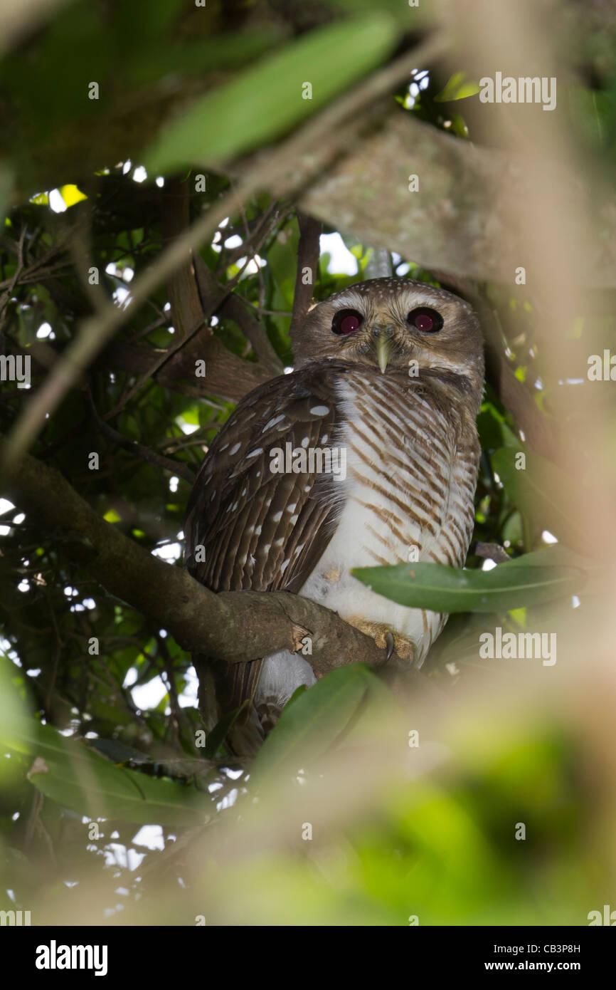 White-browed Hawk-Owl, Berenty, Madagascar - Stock Image